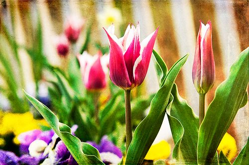 TulipsW